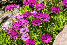River daisy Flower Osteospermum ecklonis in a tropical garden, southern Spain. River daisy Flower Osteospermum ecklonis in a tropical garden of Costa del Sol royalty free stock photo