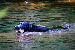 River dog. This dog is at home in the river Stock Image