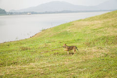 River dog. Dog standing on a  green field, watching river and mountains Stock Photos