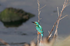 River Douro kingfisher Stock Photography