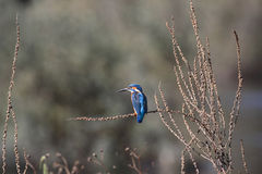 River Douro kingfisher Stock Images