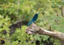 River dragonfly hunter ultramarine Ukraine. River dragonfly hunter ultramarine on the shore of the lake in Ukraine Royalty Free Stock Images