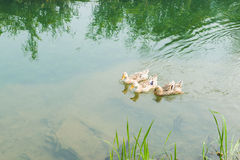The river ducks. Spring, ducks swimming in the clear stream Royalty Free Stock Photo