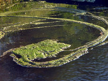 River with duckweed. River covered with duckweed stock photos