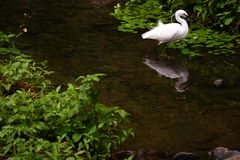 On the river, on the edge of the grass, a white egret was stopped. royalty free stock photos