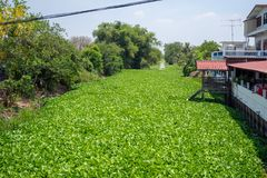 River filled with fresh green water hyacinth with the lush trees beside. On blue sky background royalty free stock photo