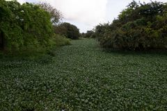 A river filled with Water Hyacinth royalty free stock photography
