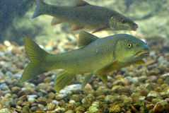 River fish. Es living in Aquarium Stock Photography