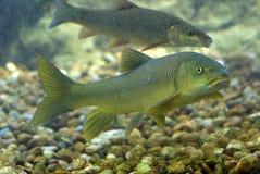River fish. Es living in Aquarium stock photography