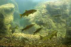 River fish. Es living in Aquarium royalty free stock photos