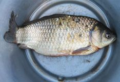 River fish carp lies in an aluminum bucket - the catch of a successful fishing. Stock Photography