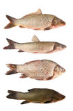 River fish collection Royalty Free Stock Images