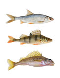 River Fish Collection Royalty Free Stock Image