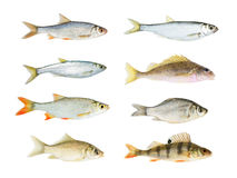 River Fish Collection Isolated Royalty Free Stock Images