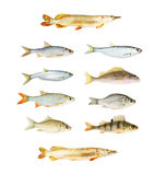 River Fish Collection Isolated Royalty Free Stock Photos
