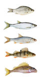 River fish collection isolated Stock Image