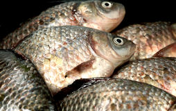 River fish  crucian ( carp ) Royalty Free Stock Image