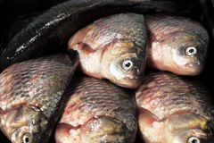 River fish  crucian ( carp ) Royalty Free Stock Images