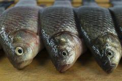 River fish crucian stock image