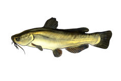 River fish Stock Image