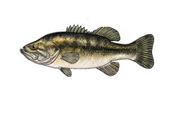 River fish Royalty Free Stock Photography
