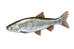 River fish. Digital illustration of freshwater fish,chub Royalty Free Stock Photography