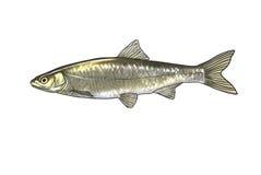 River fish Stock Photo