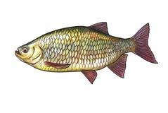 River fish Royalty Free Stock Photo