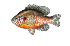 River fish Stock Images