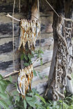 River fish dried on the branches Royalty Free Stock Photos