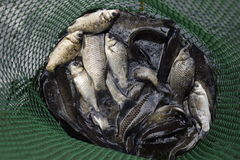 River fish in a green plastic grid in a pond. Fish catch. Carp and carp. Weed fish. Stock Photography