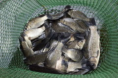 River fish in a green plastic grid in a pond. Fish catch. Carp and carp. Weed fish. Royalty Free Stock Images