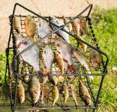 River fish on the grill. River fresh fish on the grill for smoking Stock Images