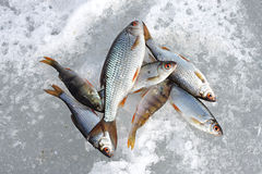 River fish lies on snow Royalty Free Stock Image