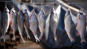 River fish marinated in salt hanging on hook for drying in nature stock video footage