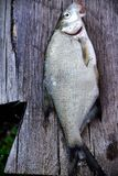 River fish over old wooden Royalty Free Stock Image