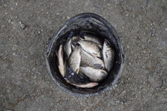 River fish in a plastic bucket. Fish catch. Carp and carp. Weed fish. Stock Photos