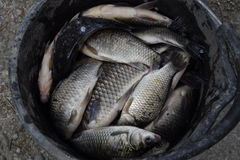 River fish in a plastic bucket. Fish catch. Carp and carp. Weed fish. Stock Photo