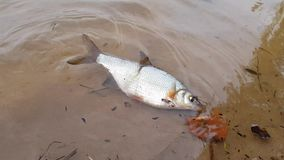 Fish is floating by the shore. River fish swim in the river near the shore, you can see the sandy bottom stock video footage