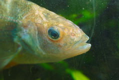 River fish under water view close up Stock Images