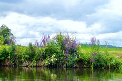 Thickets of purple flowers on the shore of the river. Summer day. royalty free stock photography