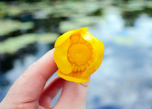 River Flower - Kubishka (yellow water lily) in his hand, surrounded by water. Stock Photography
