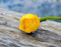 River Flower - Kubishka (yellow water lily) on wooden background surrounded by water. Royalty Free Stock Photography