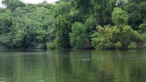 River flowing gently through forest view of allow big green trees growing in the tropical at thailand. River flowing gently through forest  view of allow big stock video footage