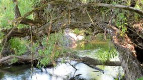 Old trees dropped branches to the river. The river flows under the old willow trees bent their branches into the water stock video footage