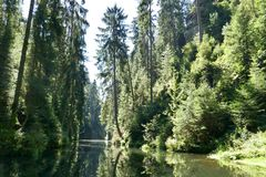River in the forest. Calm river in green forest with tall trees, reflecting in water Stock Image