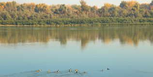 River and forest. Danube river, ducks, forest nature Stock Photos