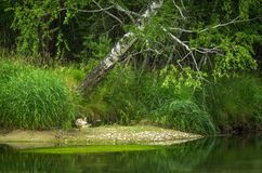 River in the forest with trees reflection, Altai Mountains, Kazakhstan.  Stock Photography