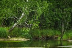 River in the forest with trees reflection, Altai Mountains, Kazakhstan.  Royalty Free Stock Images