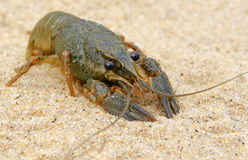 River freshwater crayfish. Stock Image
